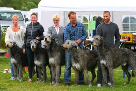 Irish Wolfhound: o maior cão do mundo