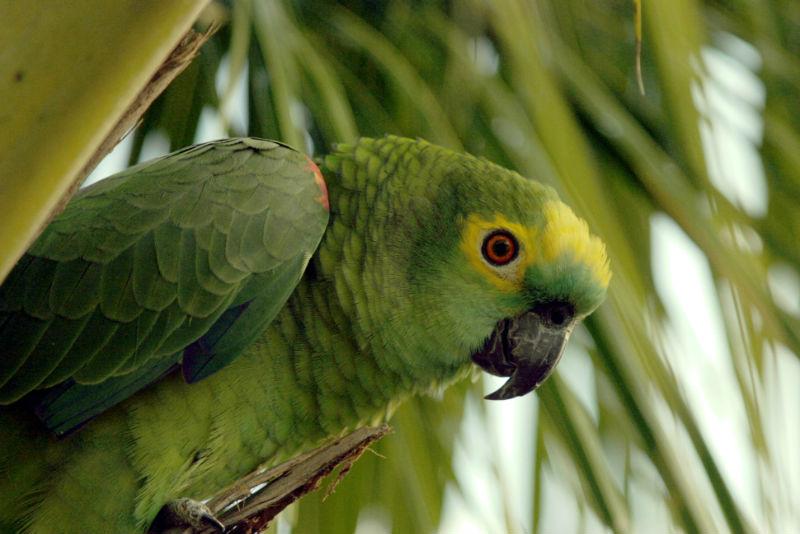 Vontade de ter um papagaio veja aqui boas dicas infosol - Amazon rainforest animals wallpaper ...