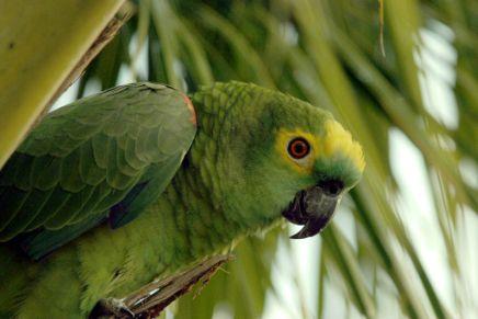 Vontade de ter um papagaio? Veja aqui boasdicas!