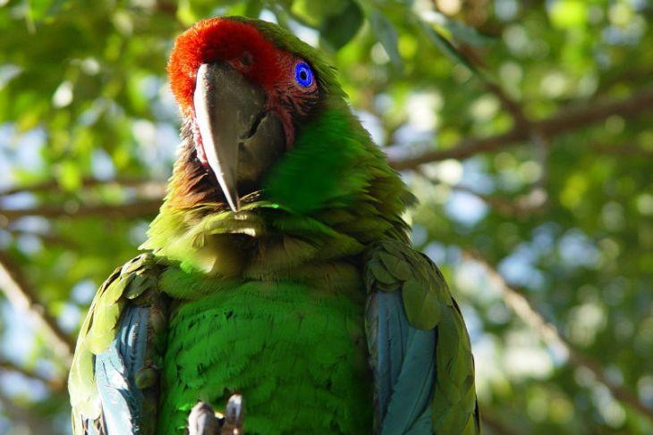 Papagaio - IN