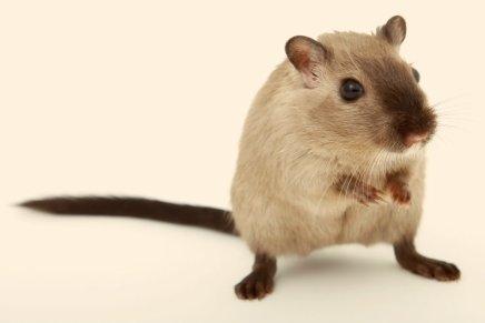 Que tal criar um ratinhoTwister?
