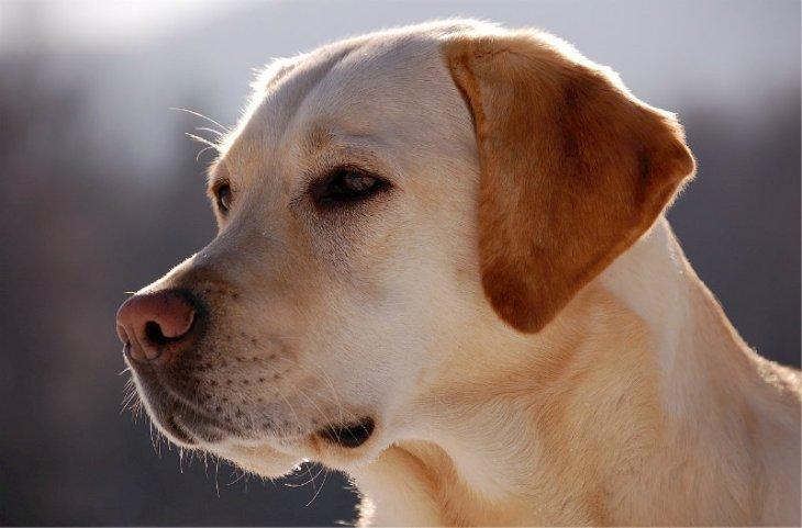 Labrador - IN