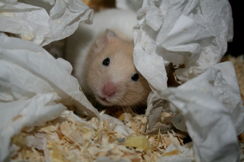 3 Razões que levam as hamsters comerem os próprios filhos